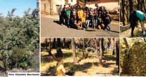 Escuteiros de Figueiró dos Vinhos combatem a praga da hakea sericae em Peralcovo