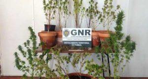 Figueiró dos Vinhos: GNR detém homem com 58 anos, por tráfico e cultivo de droga