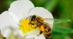 Abelhas: a espécie está em declínio e isso pode ser o fim da Natureza