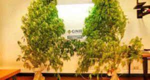 GNR da Sertã detém homem por cultivo de plantas de cannabis em Aldeia das Freiras, Pedrógão Grande